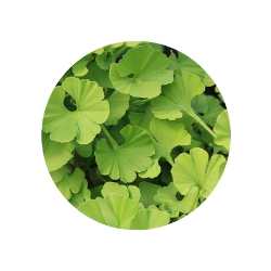 ginkgo biloba for hair growth